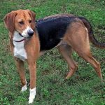 "Breeds of dogs ""The American Foxhound"""