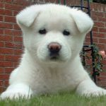 """Breeds of dogs """"The Akita"""""""