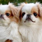 "Breeds of dogs "" The Japanese Chin"""