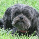 The Affenpinscher