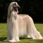Breeds of dogs – The Afghan