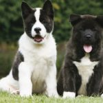 "Breeds of dogs  ""The American Akita"""