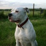 "Breeds of dogs ""The American Bulldog"""