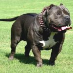 "Breeds of dogs "" The American Bully"""
