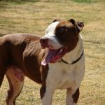 "Breeds of dogs "" The American Pit Bull Terrier"""