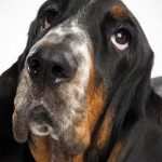 "Breeds of dogs ""The Basset artesian Normandy"""