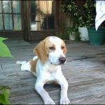 "Breeds of dogs ""The Beagle-Harrier"""