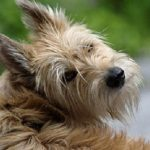 "Breeds of dogs ""The Berger de Picardie"""