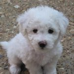 """Breeds of dogs """"The Bichon Bolognese"""""""