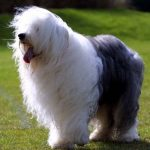 "Breeds of dogs ""The Bobtail"""