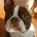 "Breeds of dogs ""The Boston Terrier"""