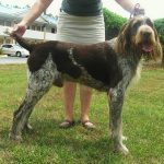 """Breeds of dogs """"The Braco of Auvergne"""""""