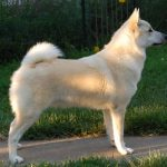 "Breeds of dogs ""The Buhund Norwegian"""