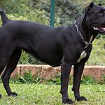 "Breeds of dogs ""The Cane Corso"""