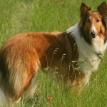 "Breeds of dogs "" The Collie"""