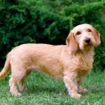 "Breeds of dogs ""The tawny Brittany Basset"""