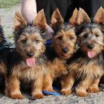 "Breeds of dogs ""The Terrier Australian"""