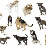 "Breeds of dogs ""The row Brasileiro"""