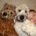 """Breeds of dogs """"The Irish Soft Coated Wheaten Terrier"""""""