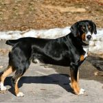 "Breeds of dogs ""dog El boyero Entlebuch"""