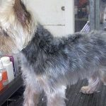 Grooming the Yorkshire Terrier