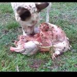 The Barf to feed his dog