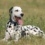 "Breeds of dogs  ""The Dalmatian"""