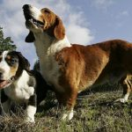 "Breeds of dogs ""The Drever"""