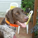 "Dog breeds ""The German Pointer to hair hard"""
