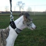 """Breeds of dogs """"The Greyhound Italian"""""""