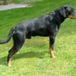 """Breeds of dogs """"The Hound of Smaland"""""""