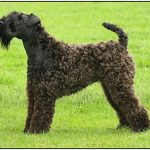 "Breeds of dogs "" The Kerry Blue Terrier"""