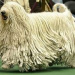 "Breeds of dogs ""The Komondor"""