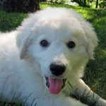 "Breeds of dogs ""The Kuvasz"""