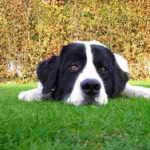"Breeds of dogs""The Landseer"""