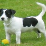 "Breeds of dogs ""The Parson Russell Terrier"""