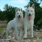 """Breeds of dogs """"The Pastor white Swiss"""""""