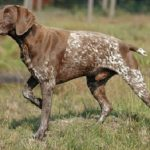 "Breeds of dogs ""The Perdiguero of Burgos"""