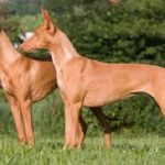 "Breeds of dogs ""The Pharaoh Hound"""
