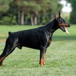 "Breeds of dogs ""The Pinscher"""