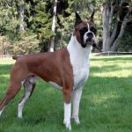 "Breeds of dogs ""The Podengo Canario"""