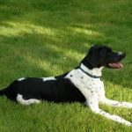 "Breeds of dogs ""The Pointer"""