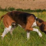 """Breeds of dogs """"The Poitevin"""""""