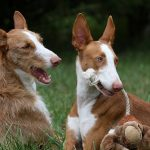 "Breeds of dogs ""The Portuguese Warren Hound"""