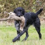 "Breeds of dogs ""The Pudelpointer"""