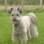 "Breeds of dogs ""The Pumi"""