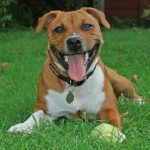 "Breeds of dogs ""The Staffordshire Bull Terrier"""