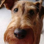 """Breeds of dogs """"the terrier irish"""""""