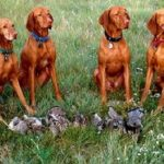 "Breeds of dogs ""The Vizsla"""