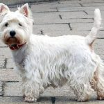 "Breeds of dogs ""The West Highland White Terrier"""